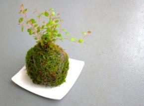 初心者でも簡単にできる苔玉の作り方について